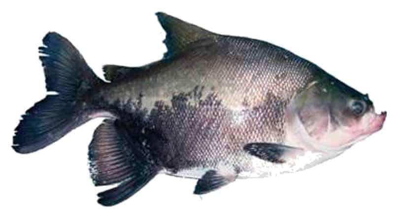 Pacú (Colossoma macropomum)