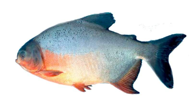 Tambaquí (Piaractus brachypomus)