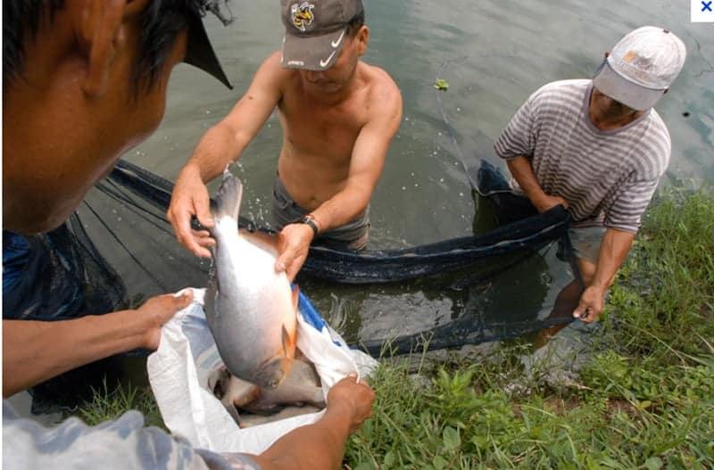 Cría y pesca de pacú y bagre en el río Piraí. Santa Cruz
