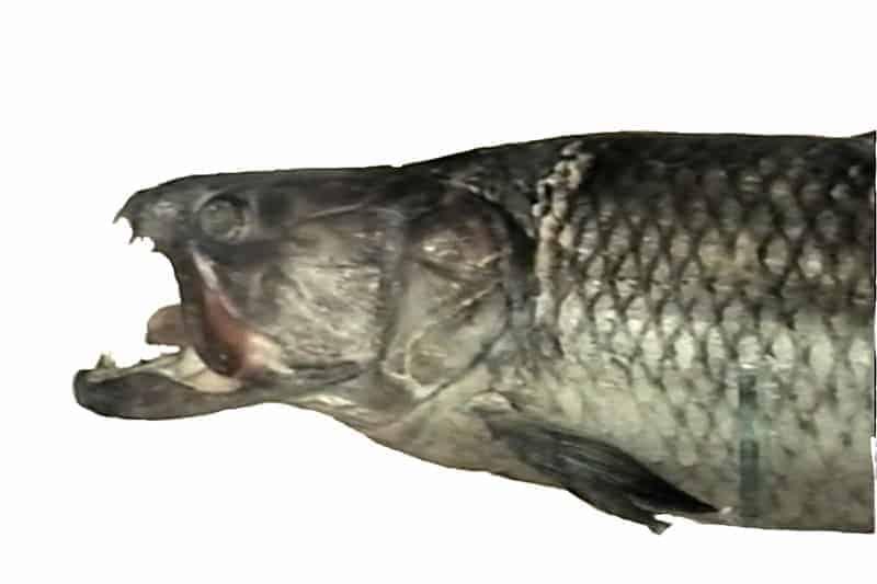 Boca de perro (Acestrorhynchus sp.)