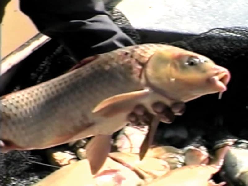 Crianza de Carpas en la represa de Culpina, Chuquisaca.