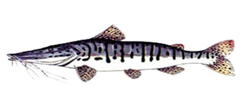 Surubi (Pseudoplatystoma fasciatum)