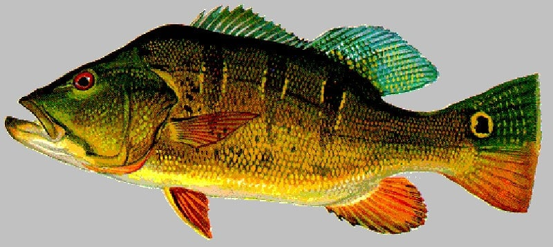Tucunaré (Cichla pleiozona)