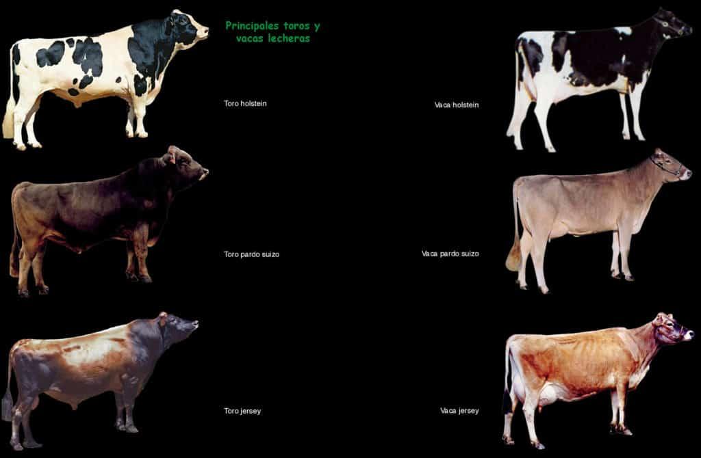 Ganado Lechero. Principales toros y vacas.