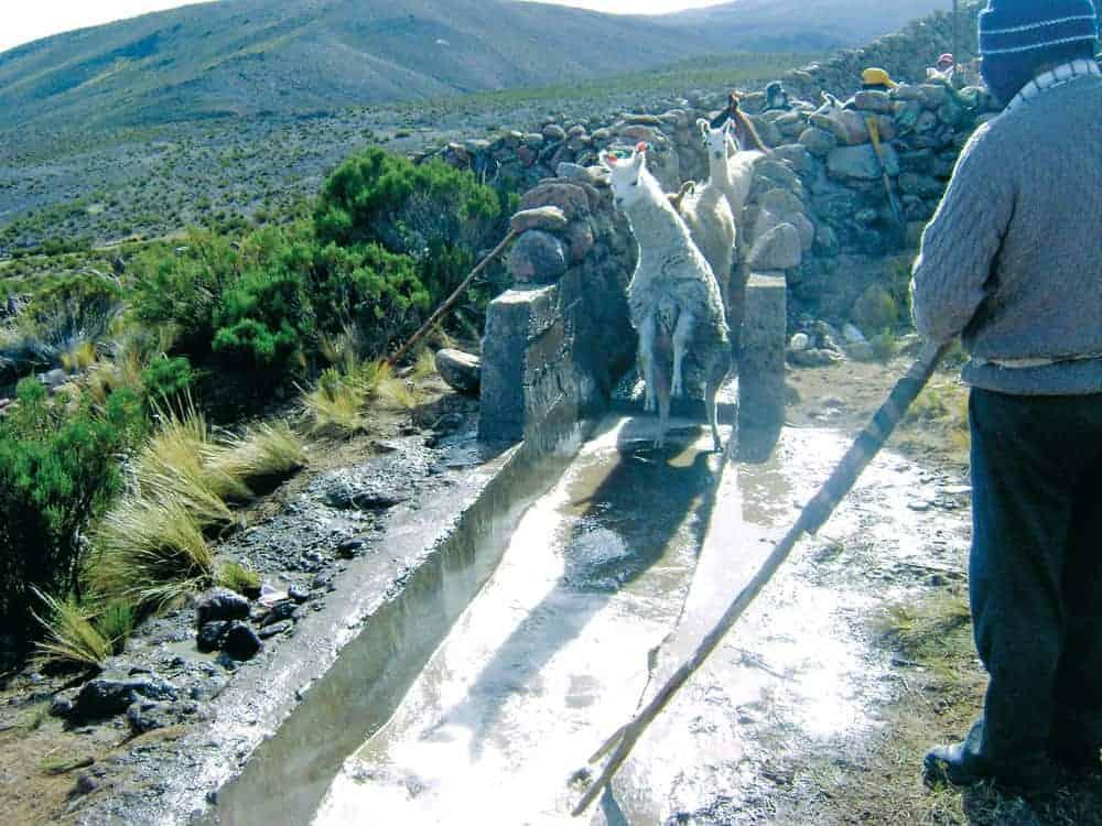 Baño antisárnico en las llamas de la Provincia Pacajes. La Paz.