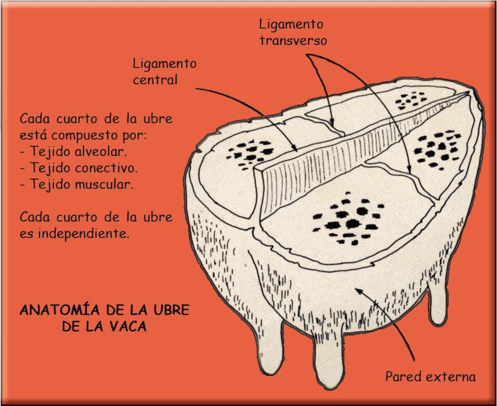 Anatomía de la Ubre