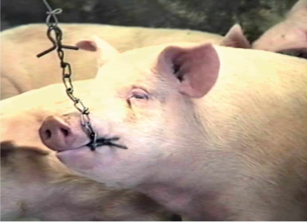 """Es recomendable colocar cadenas para que los animales desgasten sus dientes y eliminen el stress. Granja """"San Antonio"""". La Paz."""