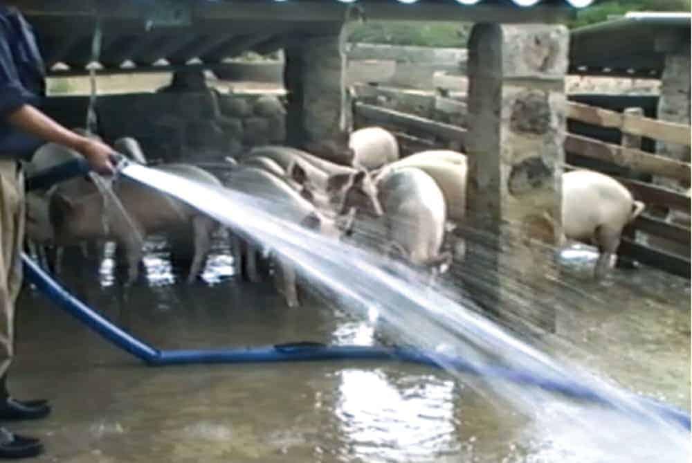 Es necesario utilizar grandes cantidades de agua para optimizar la producción y evitar enfermedades.