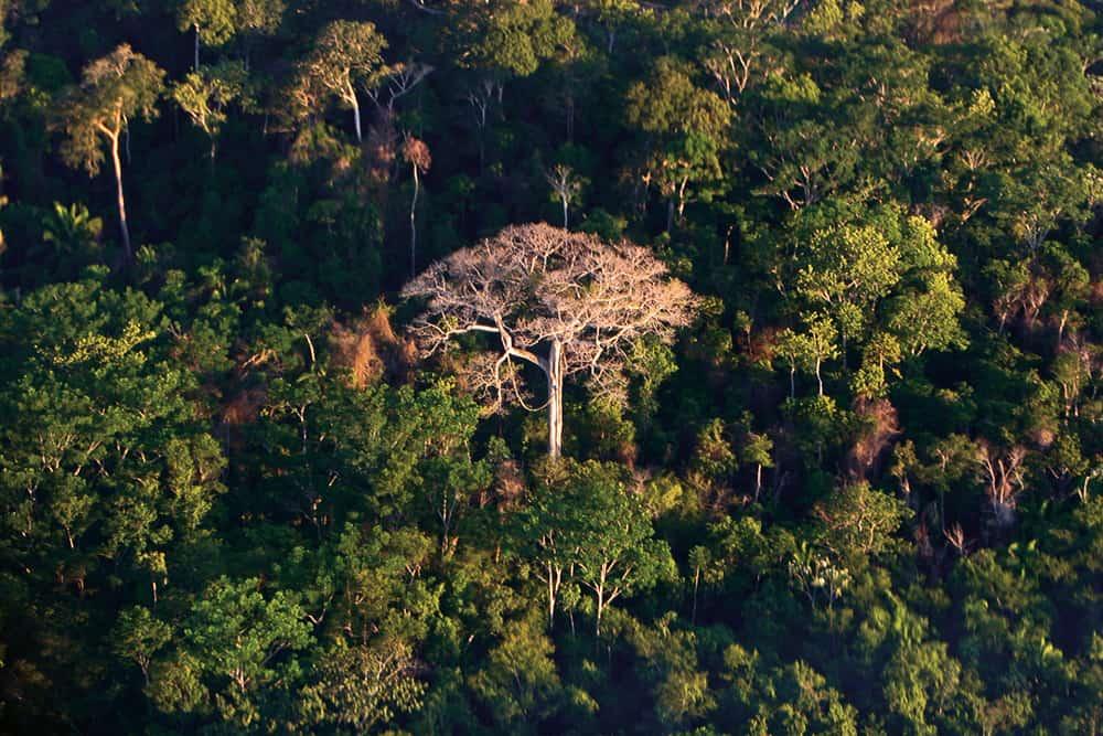 Selva amazónica. Sobresale un árbol de castaña. Pando.
