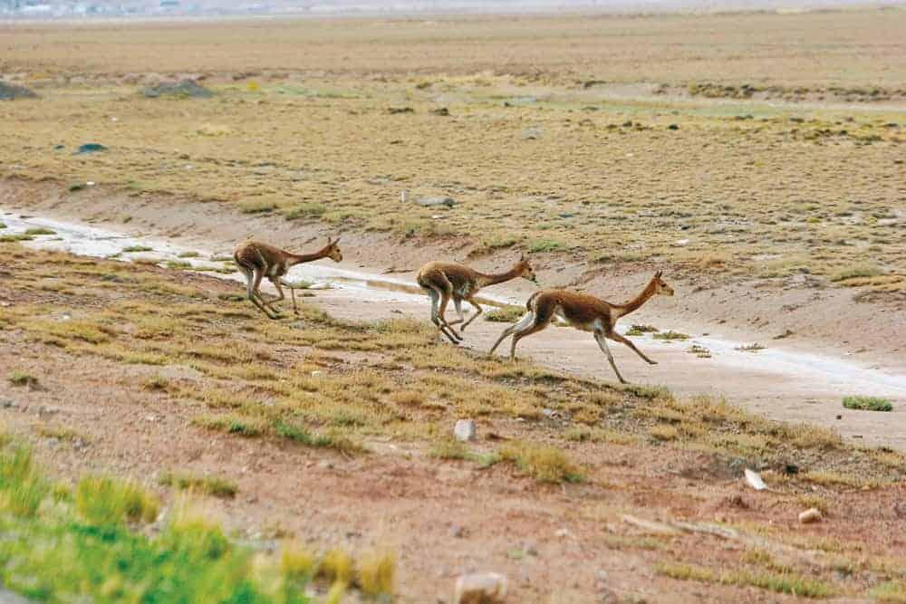 Vicuñas corriendo libremente en Ulla Ulla, Provincia Franz Tamayo, La Paz.