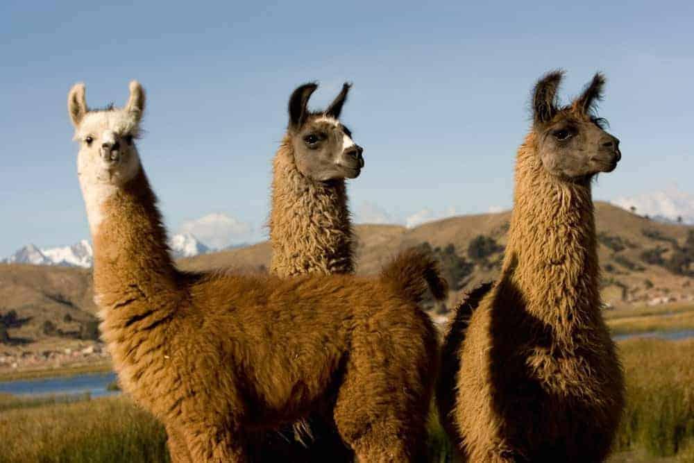Llamas a orillas del lago Titicaca.