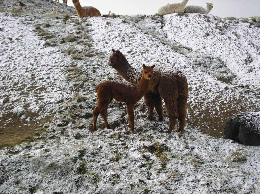 Alpacas de la variedad huacaya.