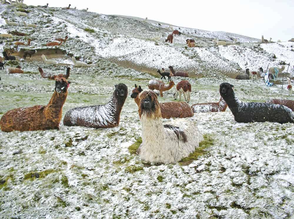 Camélidos en Bolivia