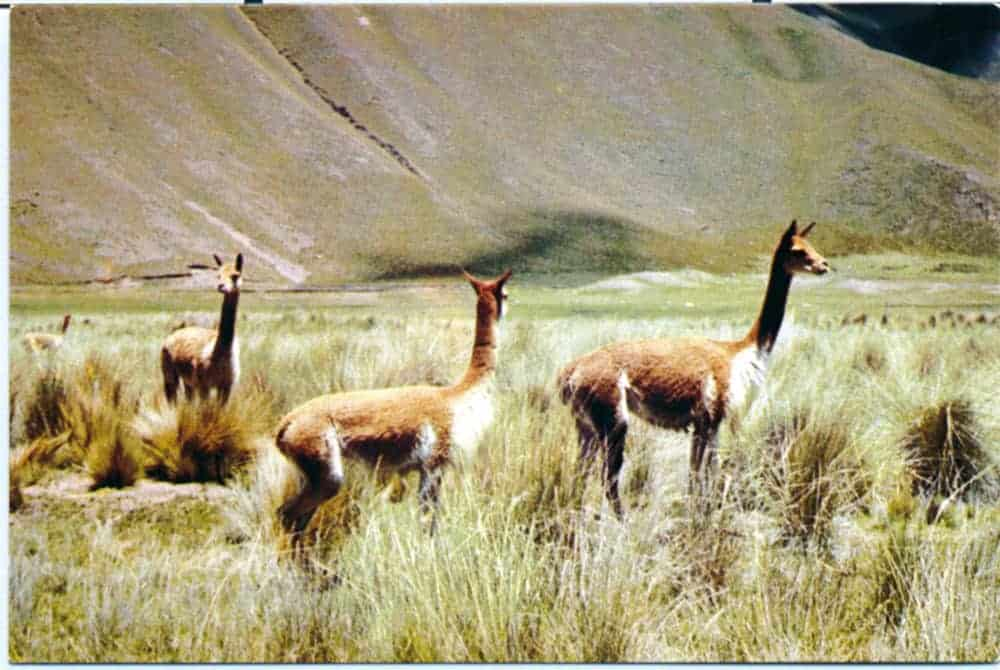 Vicuñas silvestres. Altiplano. La Paz.