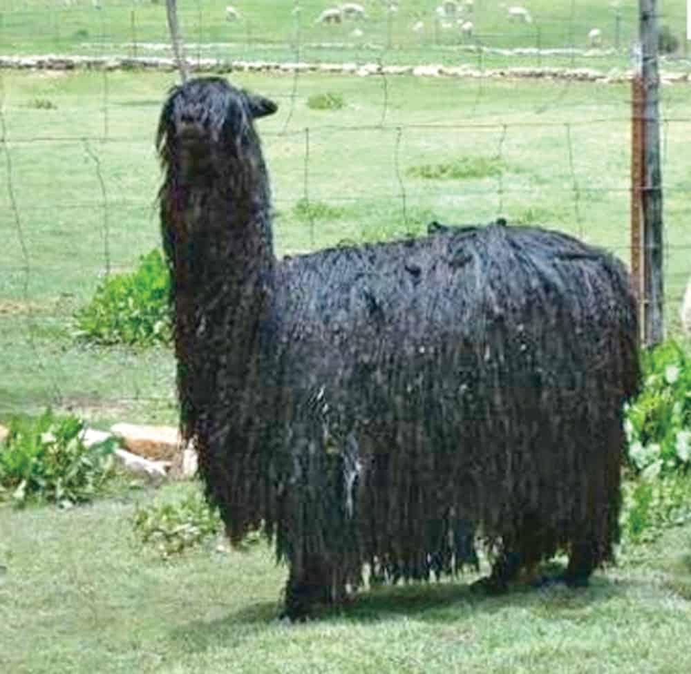 Alpaca de la variedad suri.