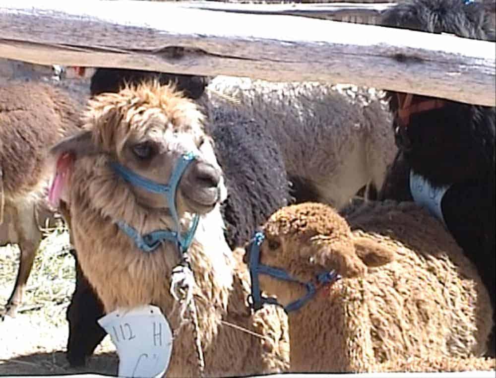 alpacas madre e hija