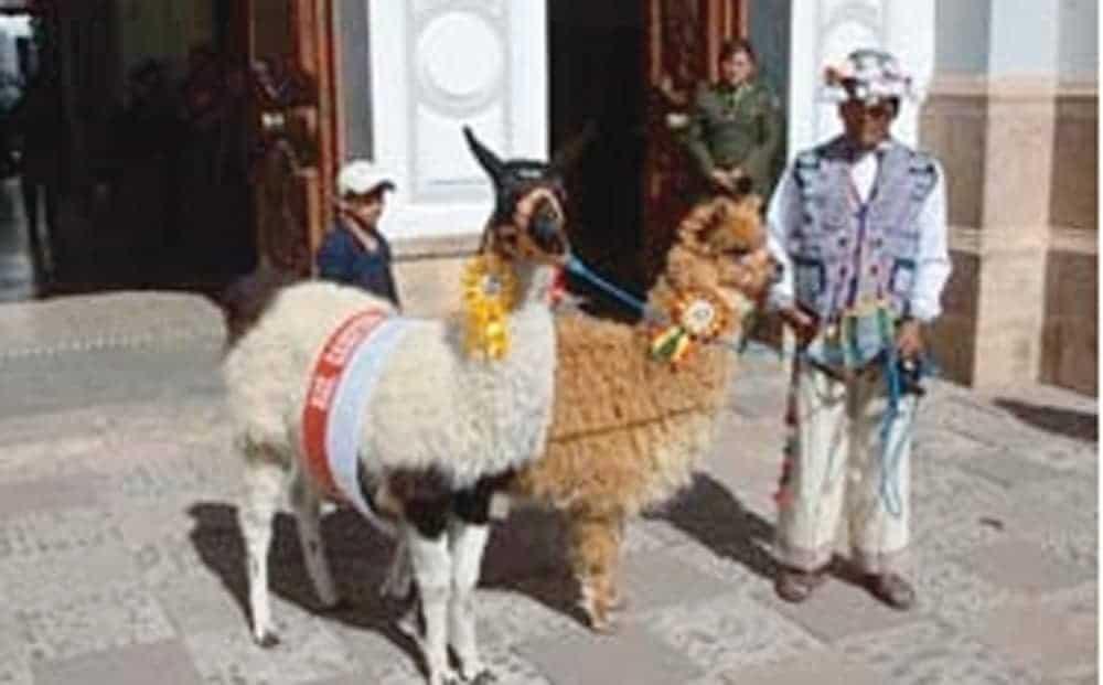 Llama y alpaca en la ciudad de Sucre.