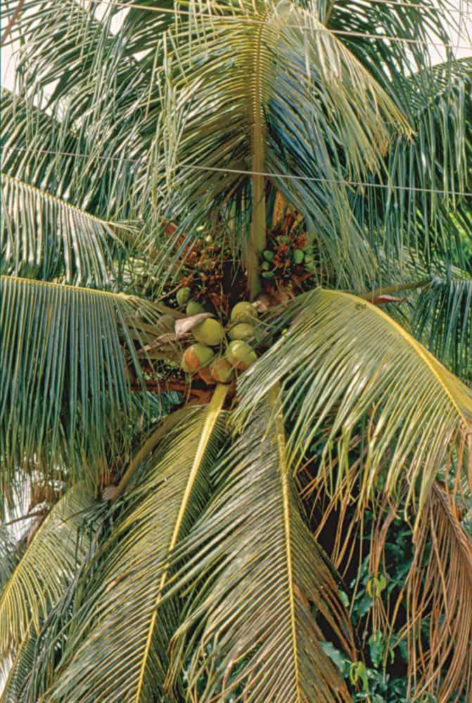 Cocotero. Un recurso de la selva muy apreciado.