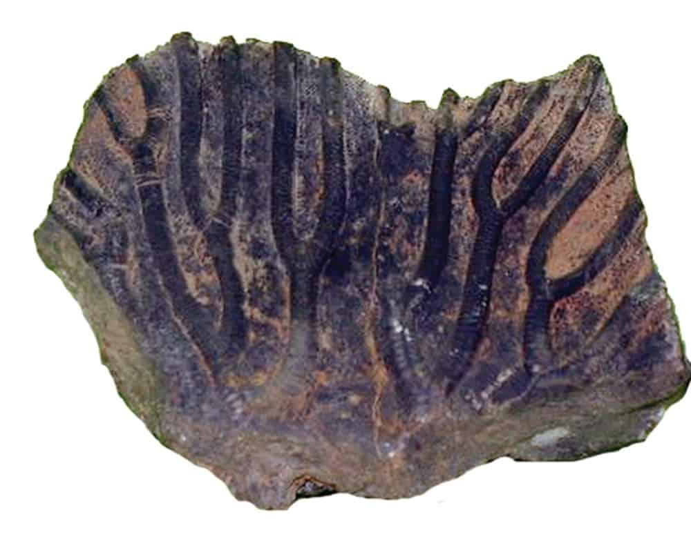 conifera