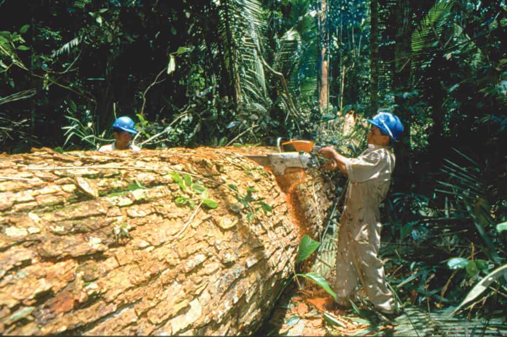 La ley forestal establece que se pueden talar los árboles mayores a 20 años en las zonas permitidas. Sin embargo, esto también significa que en el futuro solo quedarán árboles jóvenes y ¡¡¡ninguno de 500 años, por ejemplo!!!