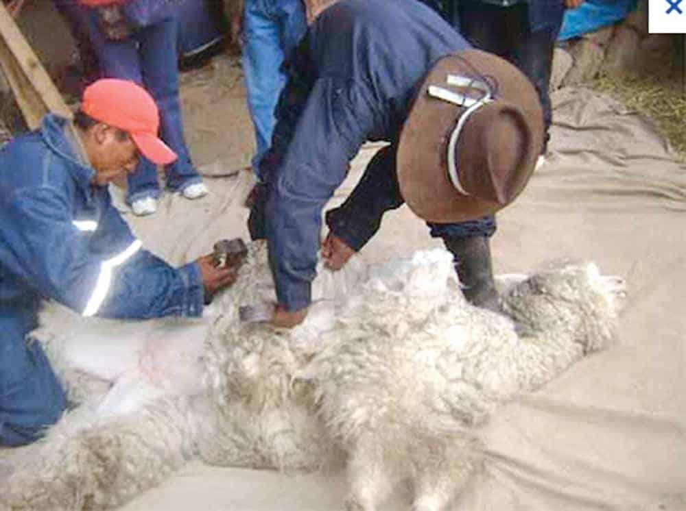 esquila alpaca macho huacayo