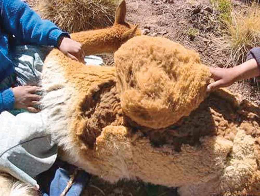 Esquila sin dolor de una vicuña.