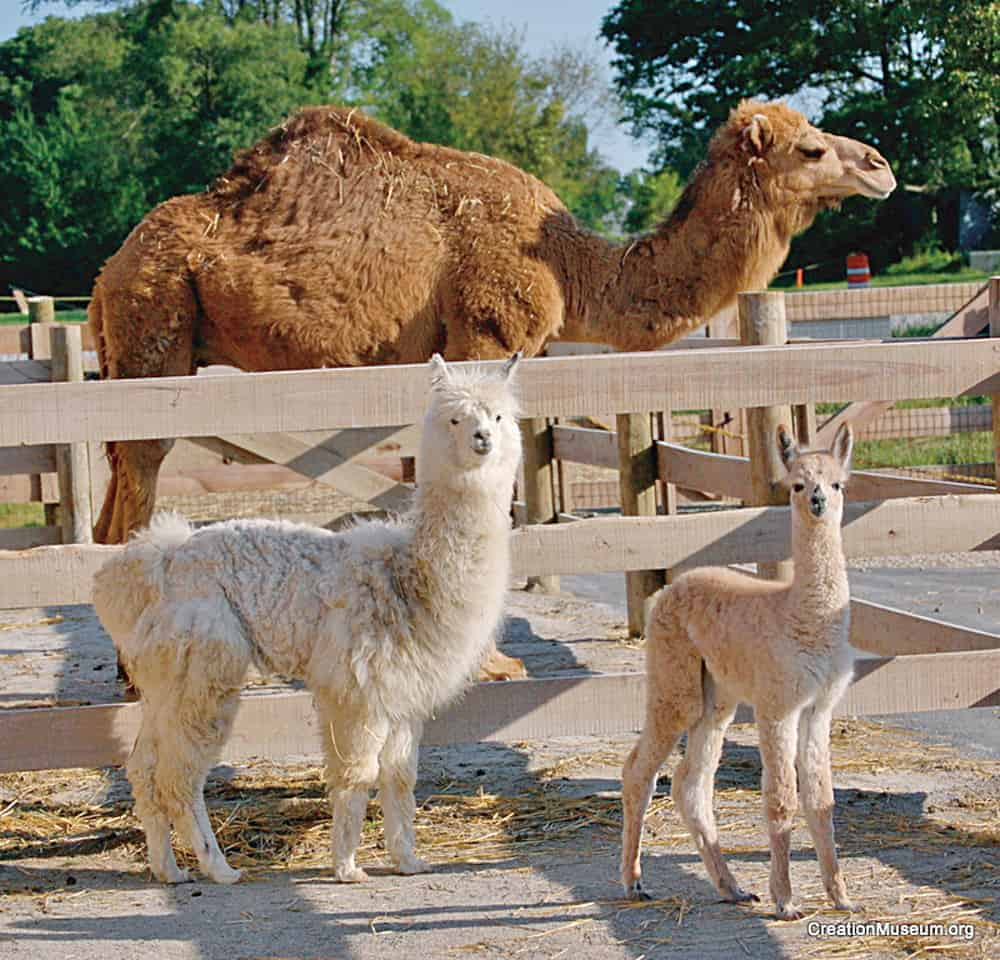 Dromedario, alpaca y huarizo.