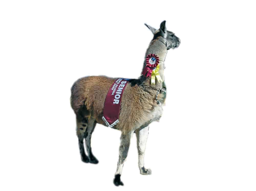 Llama (Lama glama) campeona
