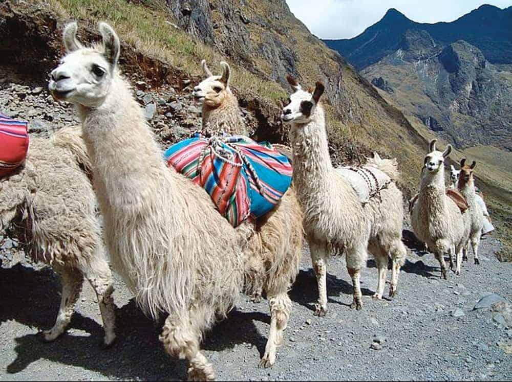 Llamas cruzando la cordillera entre Cochabamba y Oruro.