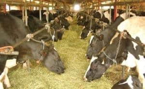 Nutrición de vacas lecheras en producción