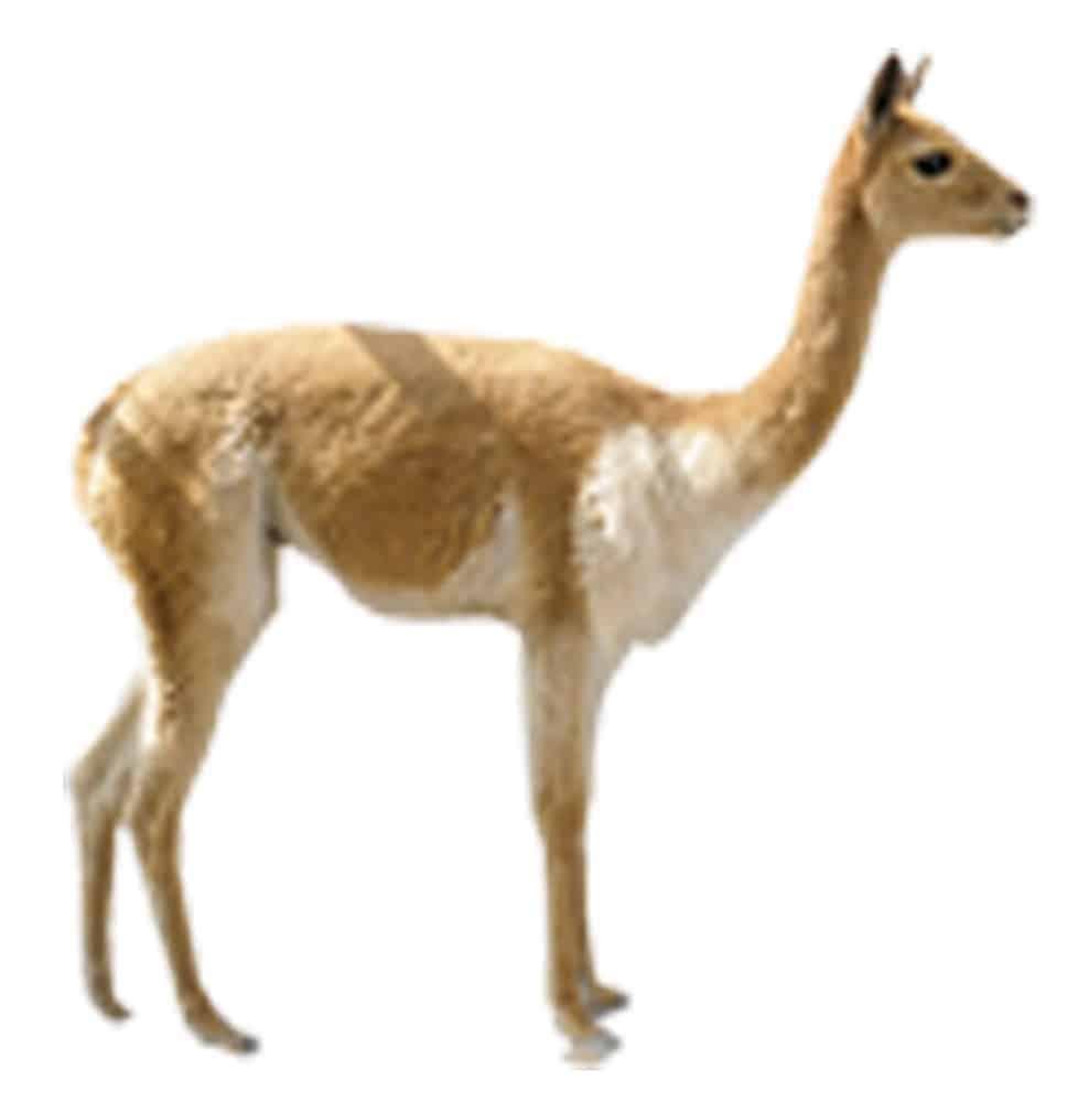 Vicuña (Vicugna vicugna)