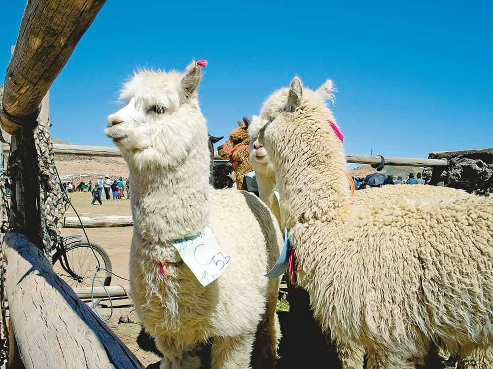Alpaca de la variedad huacaya. Prov. Sajama, Oruro.