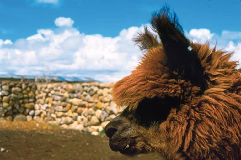 Alpacas en Bolivia