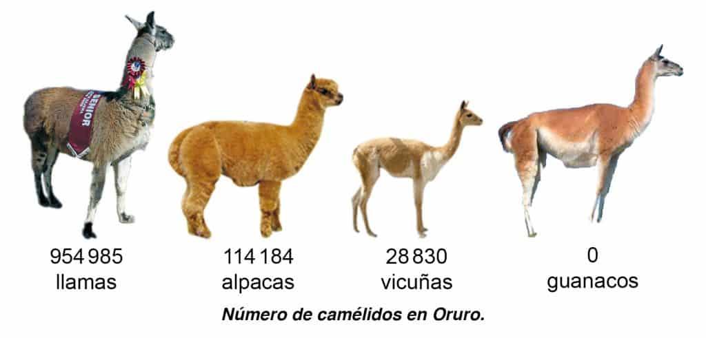Número de camélidos en Oruro.