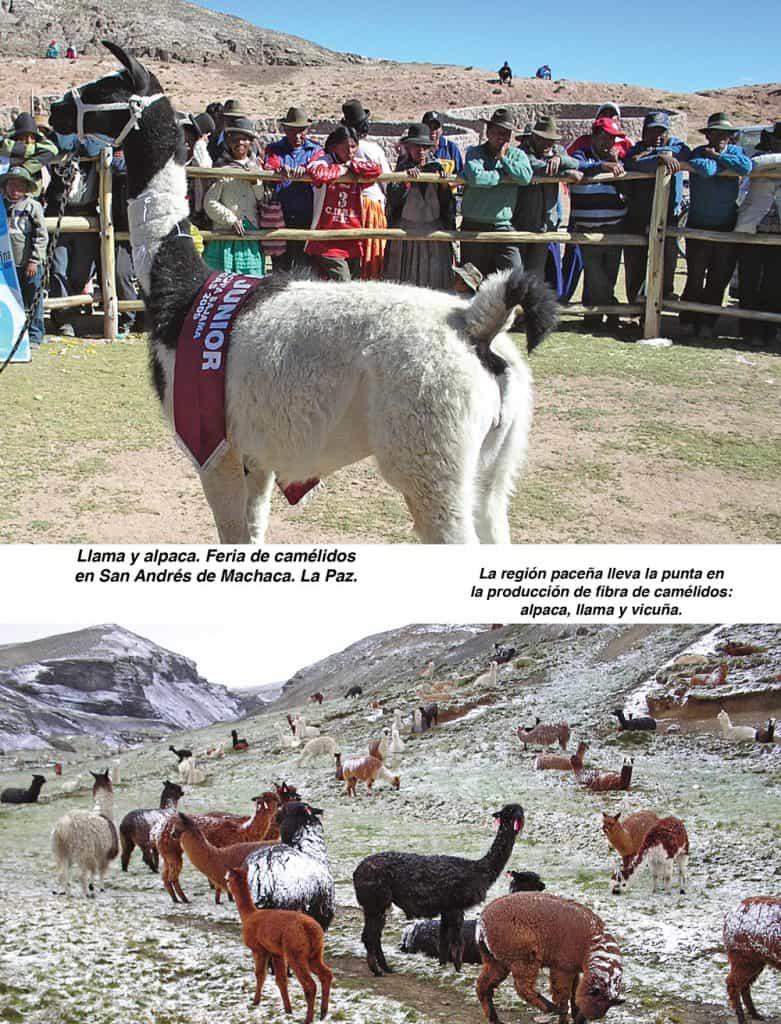 Llama y alpaca. Feria de camélidos en San Andrés de Machaca. La Paz.