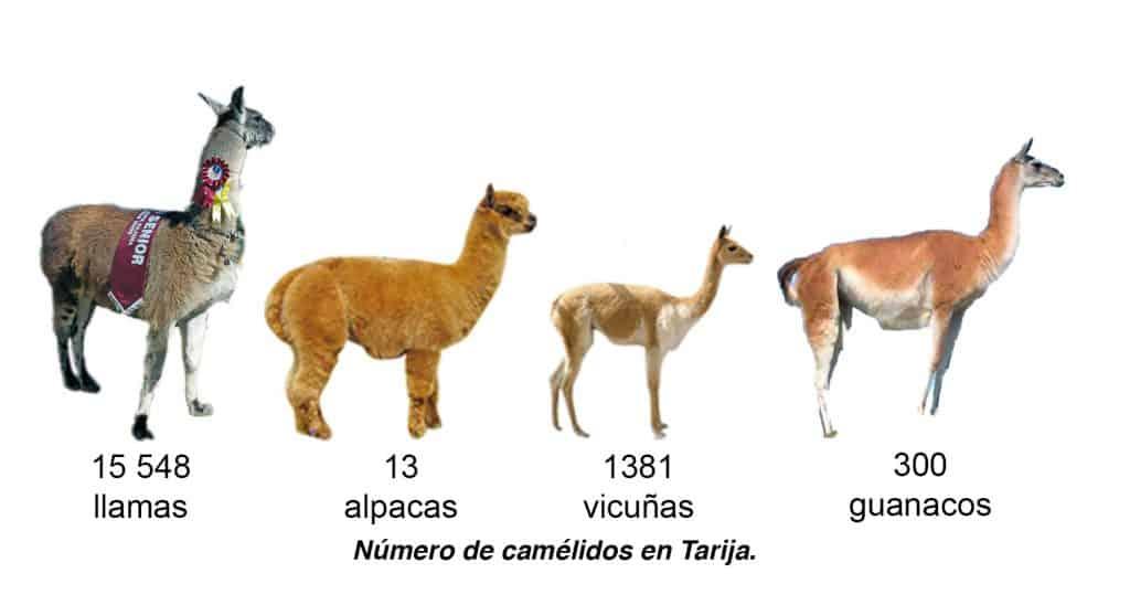 Número de camélidos en Tarija.